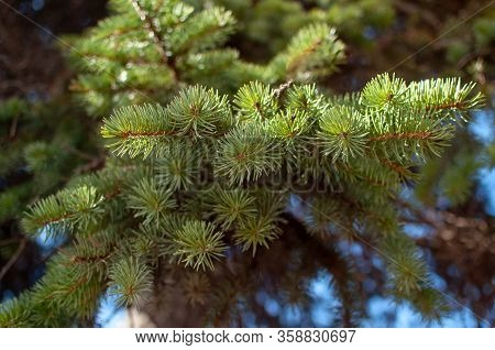 Christmas Spruce In Nature. A Beautiful Branch Of Spruce, Illuminated By The Sun, Against The Blue S