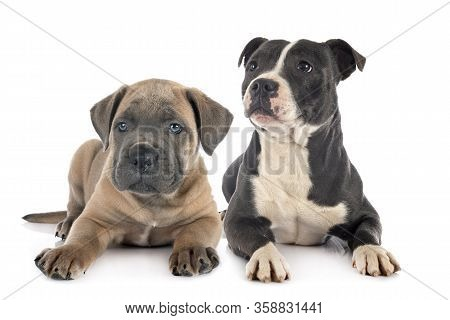 Puppy Italian Mastiff And Staffie In Front Of White Background