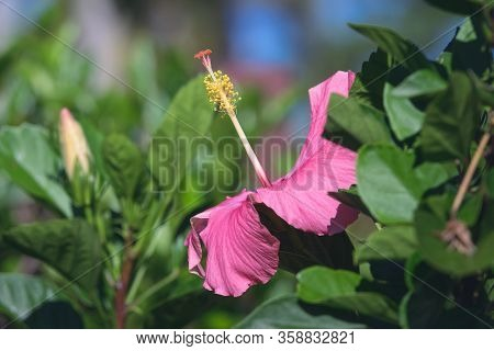 Pink Hibiscus Flowers Background. Flower Close Up Background. Flowers For Postcard And Home Decorati