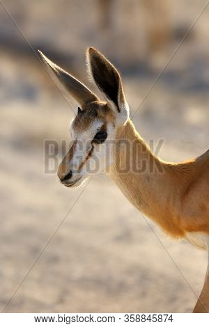 The Springbok (antidorcas Marsupialis) Portrait Of The Young Antelope. Antelope On The Sand.
