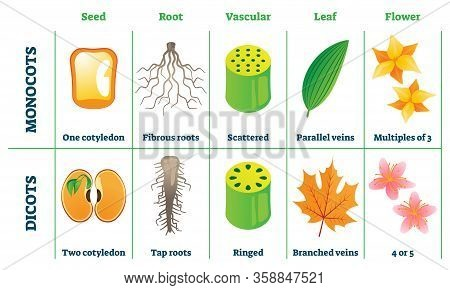 Monocots And Dicots Vector Illustration. Labeled Plant Comparison Division Scheme. Educational Graph