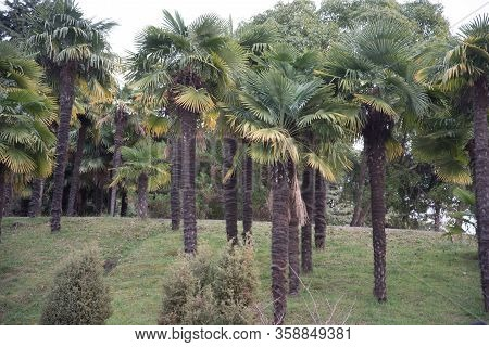 Landscape With Palm Trees In The Subtropics. Green Plant.