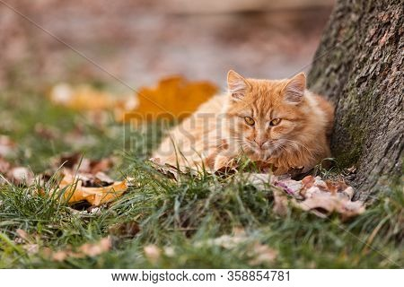 Beautiful Red Cat With Yellow Eyes Resting Outdoor. Autumn Cat On The Green Grass With Yellow Leaves