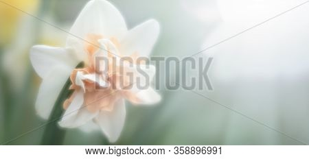 Soft Focus Blurred Image Of Daffodil In The Garden. Blooming Narcissus. Flowering Daffodils At Sprin