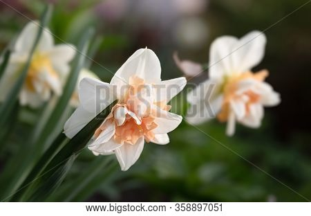 Daffodils Blooming In The Garden