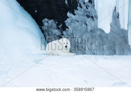 Beautiful Maremmano Abruzzese Dog O Lying In Front Of Icefall. Maremma Dog Is Lying In The Cave. Big
