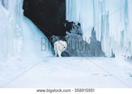 Beautiful Maremmano Abruzzese Dog Standing In Front Of Icefall. Maremma Dog Is Lying In The Cave. Bi