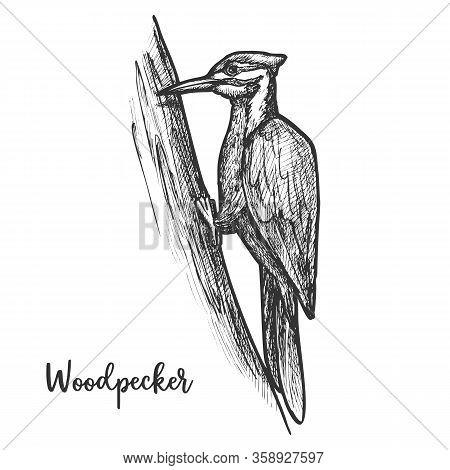 Sketch Of Woodpecker Bird On Tree, Pecker Animal