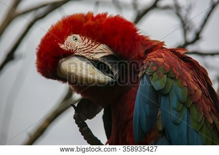Green-winged Macaw In Yungas, Coroico, Bolivia