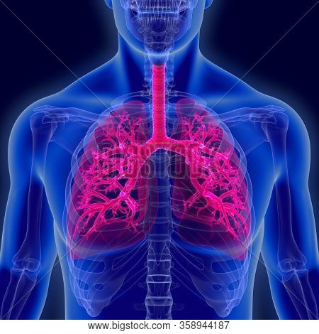 Humans Have Two Lungs, A Right Lung And A Left Lung. They Are Situated Within The Thoracic Cavity Of