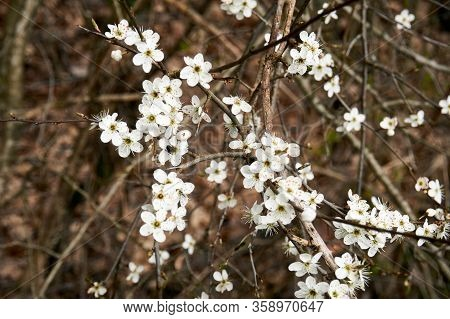 A Blooming Branch Of Blackthorn In Spring.