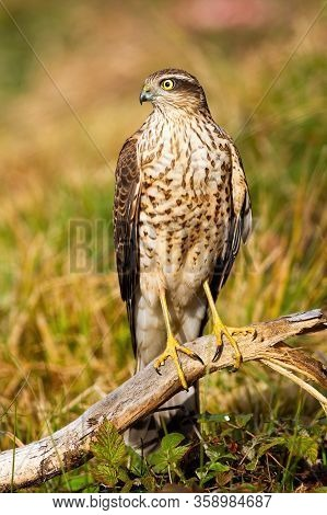 Female Eurasian Sparrowhawk Sitting On Bough In Summer Nature.