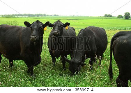 Black Angus Cows in Iowa Field