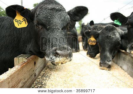 Black Angus Cows Feeding on Corn in Trough