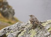 Image of a sparrow on a rock on a foggy day. poster