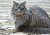 This pet portrait is a beautiful green eyed cat with long haired gray fur. She's sitting on a deck outdoors and is striking and relaxed. poster