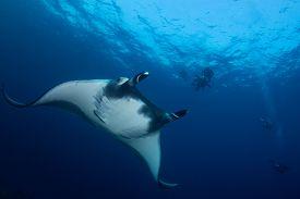 Ocean Manta Ray and scuba divers
