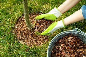 Mulching Around A Tree With Pine Bark Mulch