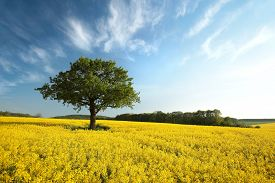 Countryside Tree Oilseed field spring Nature landscape morning sunrise sunset trees Nature background spring yellow Nature background Nature background travel Nature background Nature background Nature Nature background rape blue sky Nature background.