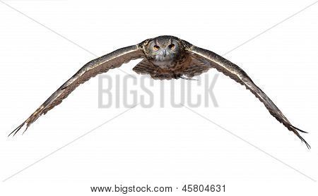 Owl swooping in for the kill