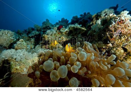 anemonefish and bubble anemone taken in the red sea. poster