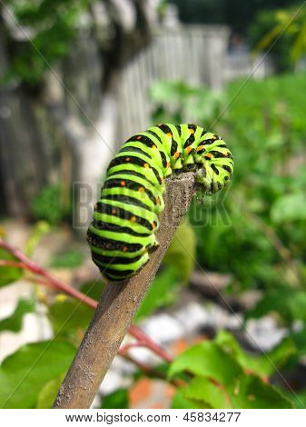 Caterpillar Of Butterfly Machaon On The Stick