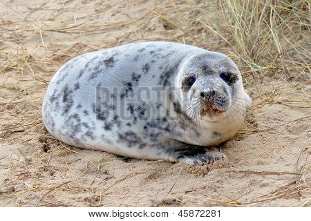 poster of A seal pup resting on a beach