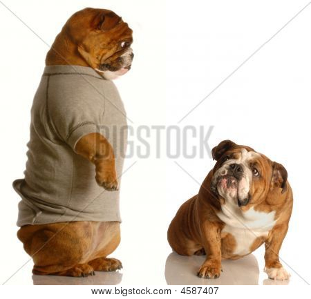Bulldog Standing Looking Down At Another