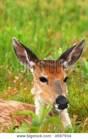 young deer laying down and resting in a green meadow poster