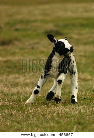 Lonely Sheep Running