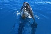 Humpback whale spy hop at Hervey Bay Queensland Australia poster