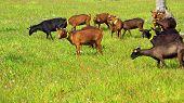 Goats grazing in farm alentejo region Portugal. poster