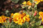 a bee sits on a flower looking at the camera. ** Note: Slight blurriness, best at smaller sizes poster