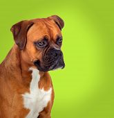 Adorable boxer dog in profile on green background poster