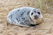 A seal pup resting on a beach poster