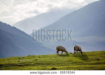 Two sheeps at the pasture in mountains