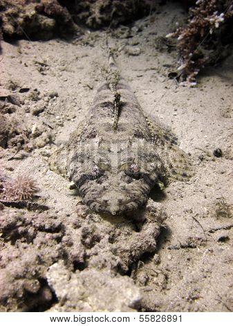 Crocodilefish portrait