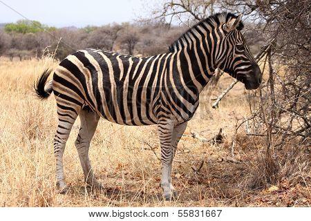 Heathy And Proud Zebra