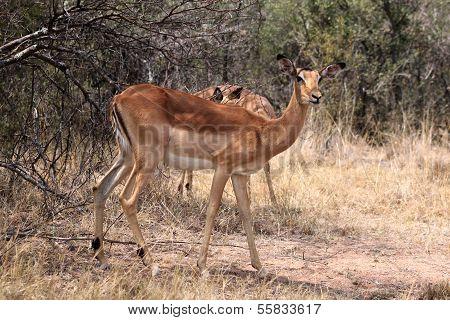 Alert Impala Ewe