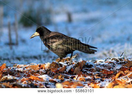 Corvus Frugilegus Foraging On Ground