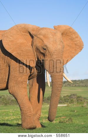 large bull african elephant front half profile poster