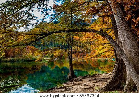 Beautiful Bright Fall Foliage on Large Cypress Trees Reflecting on the Clear Frio River in Texas