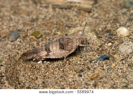blue winged grasshopper sitting on the ground poster