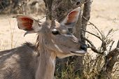 Kudu Cow Listening with One Ear Turned Forward one Ear Back poster