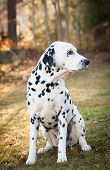 Dalmatian dog sitting on the grass on a sunny autumn day. poster