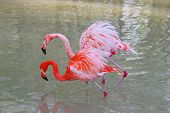two pink flamingos as a couple ** Note: Slight blurriness, best at smaller sizes poster