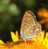 Common blue butterfly nectaring on a flower in the sun. poster