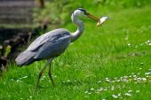Grey heron bird catching a fish in water poster