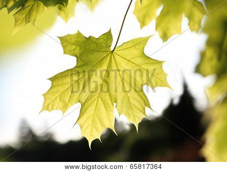 Common Maple green leaf.