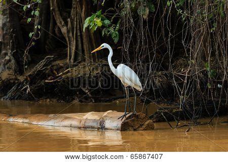 Egret Waits On A Fallen Tree On A Jungle River